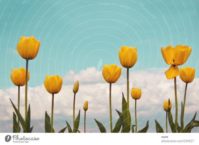 Zuwachs der gelben Püppchen Garten Umwelt Natur Landschaft Pflanze Himmel Wolken Frühling Sommer Klima Schönes Wetter Tulpe Blühend Duft Wachstum Freundlichkeit