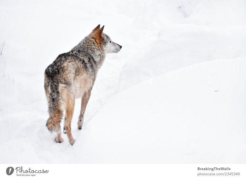 Rückansicht des Wolfes auf weißem Schnee Natur Tier Winter Wildtier Zoo 1 wild Wachsamkeit beobachten Tierwelt grau Farbfoto Menschenleer Textfreiraum rechts
