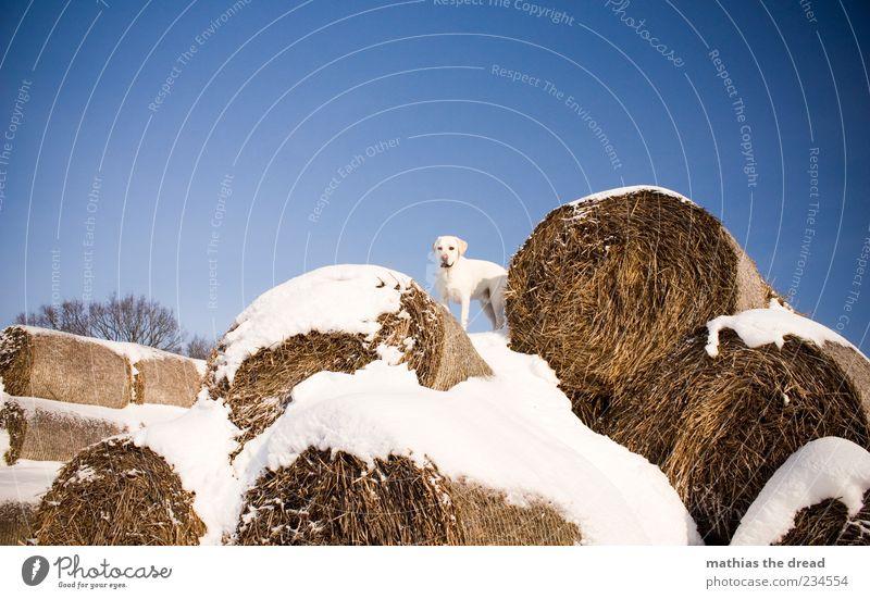 ALTES WINTERBILD II Himmel Hund Natur weiß Tier Umwelt kalt Schnee Freiheit stehen Schönes Wetter Haustier Wolkenloser Himmel Tarnung Strohballen