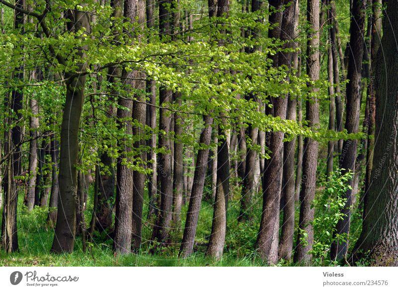 Waldgeflüster Umwelt Natur Pflanze Frühling Baum braun grün Blatt Baumstamm Baumrinde Farbfoto Außenaufnahme Menschenleer Tag Zweige u. Äste Sonnenstrahlen Gras