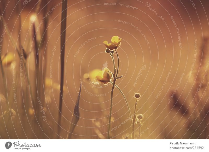 Goldschein Natur Pflanze Sommer Tier Umwelt Landschaft Wiese Gras Frühling Blüte träumen Feld gold Wachstum leuchten Romantik