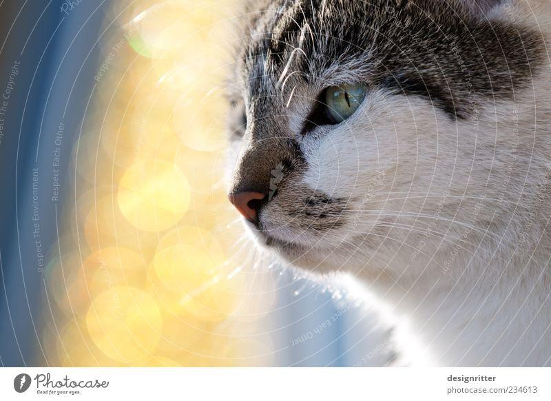 Katzentraum schön Sommer Tier träumen Kraft glänzend Macht niedlich beobachten Fell Tiergesicht Schönes Wetter Mut Wachsamkeit Haustier