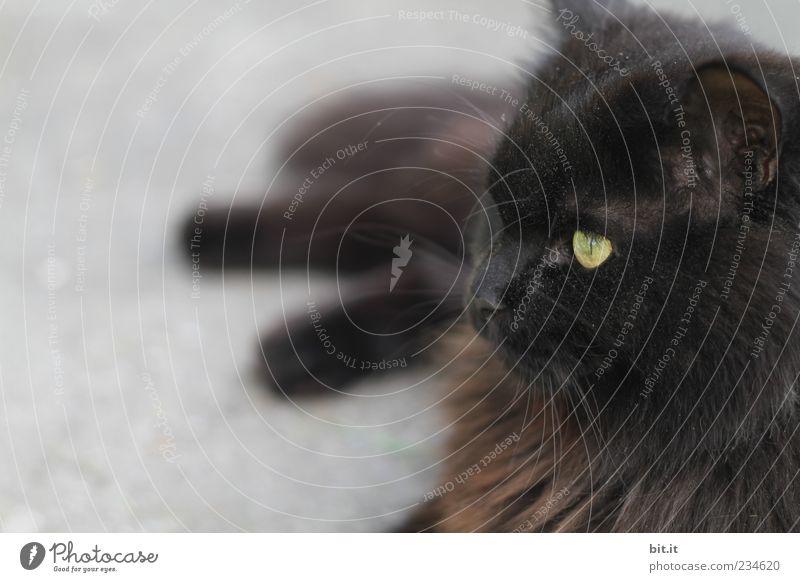 das wär dann mal.... Katze Tier schwarz Auge Erholung Zufriedenheit liegen Pause niedlich beobachten Fell Tiergesicht Wachsamkeit exotisch Haustier langhaarig