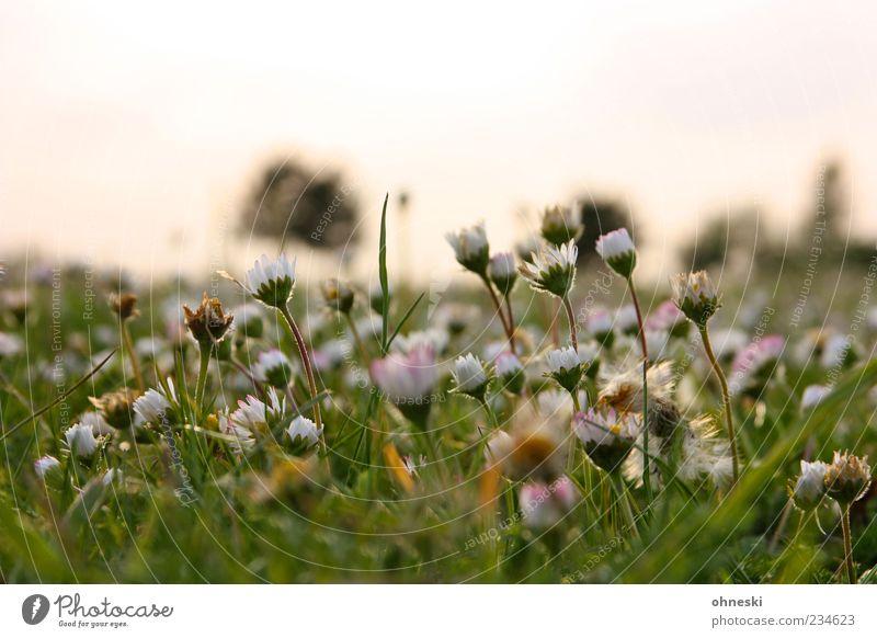 Good Morning again Natur grün Pflanze Blume Wiese Gras Blüte Park Hoffnung Schönes Wetter Stengel Halm Gänseblümchen Blütenknospen Optimismus friedlich