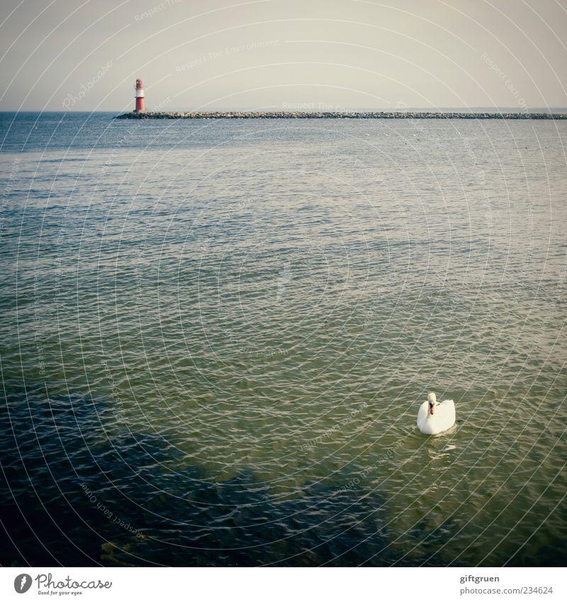 der schwan Umwelt Natur Landschaft Urelemente Wasser Himmel Wolkenloser Himmel Horizont Schönes Wetter Küste Ostsee Meer Tier Vogel Schwan 1 Schwimmen & Baden