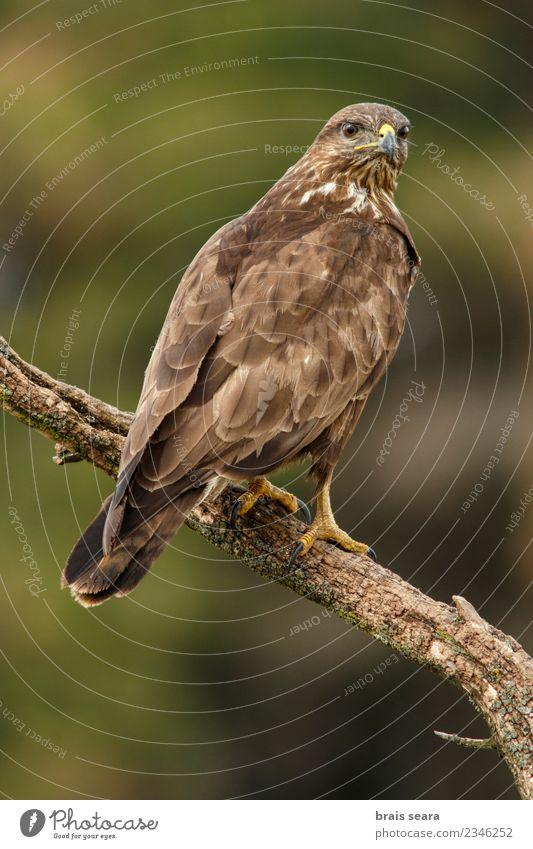 Mäusebussard (Buteo buteo), auf einem Baumstamm sitzend, Kastilien und León, Spanien. schön Leben Umwelt Natur Tier Wald Wildtier Vogel Flügel 1 natürlich wild