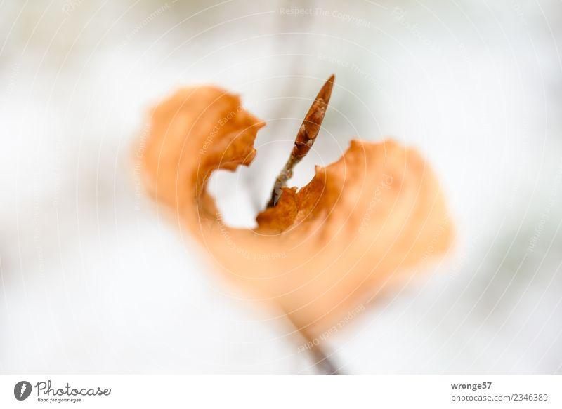 Jahreszeiten | trockenes Blatt I Natur Pflanze Frühling Herbst Sträucher Wald nah braun vertrocknet herbstlich Herbstlaub Zweige u. Äste Querformat Farbfoto
