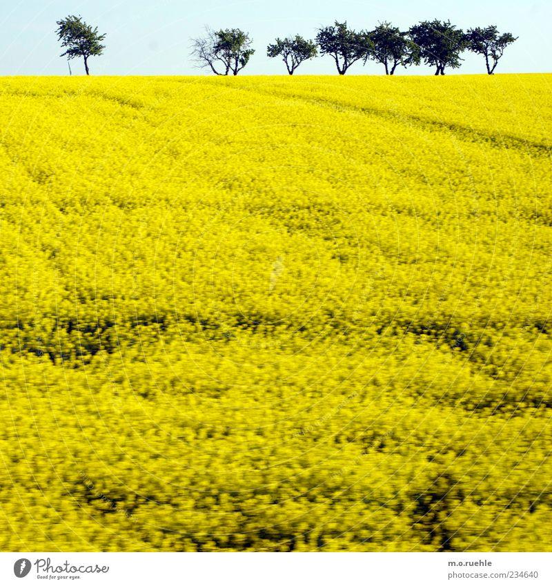 raped land Umwelt Natur Landschaft Pflanze Himmel Wolkenloser Himmel Horizont Frühling Baum Nutzpflanze Feld gelb Raps Rapsfeld Rapsanbau Rapsblüte Deutschland