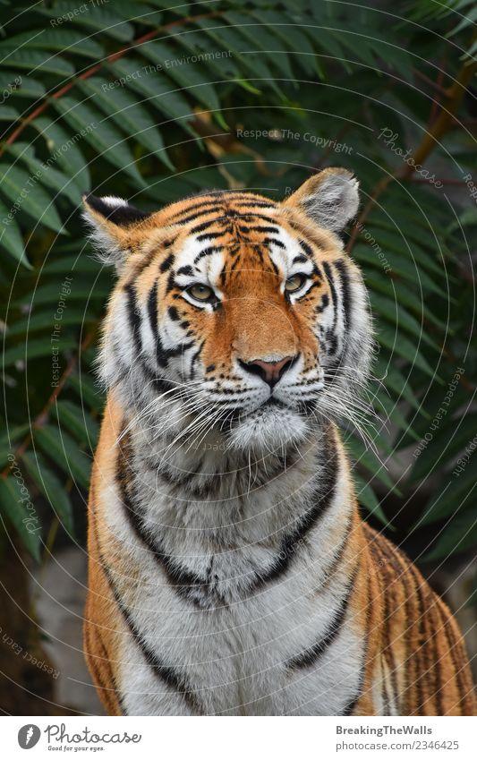 Nahaufnahme des Tigers mit Blick auf die Kamera Natur Tier Wildtier Tiergesicht Zoo Raubkatze wild Amur-Tiger sibirischer Tiger Katze Säugetier Fleischfresser
