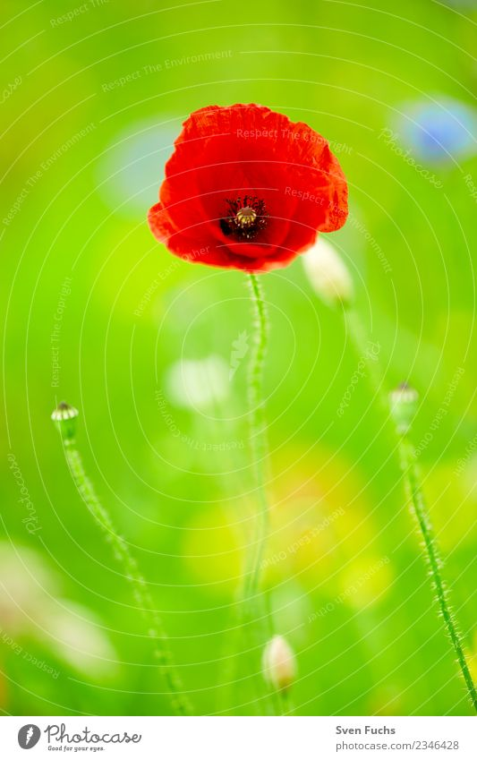 Mohnblüte Glück Sommer Natur Pflanze Frühling Blume Blüte Wildpflanze Wiese Fröhlichkeit frisch grün rot blühen leuchten offen geschlossen knospe jung