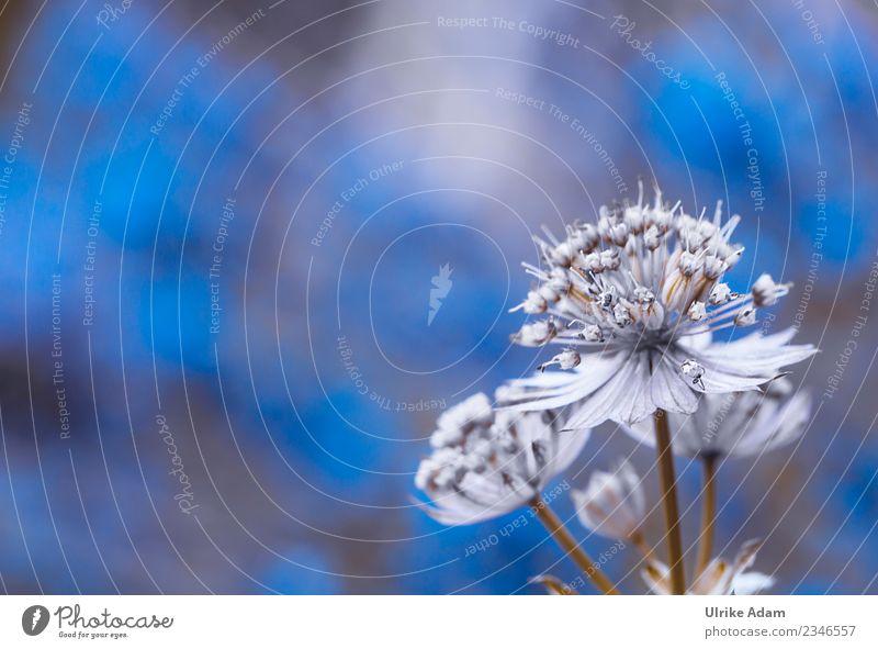 Blüte der Sterndolde (Astrantia) Natur Pflanze blau Blume Erholung ruhig Leben Hintergrundbild Frühling Zufriedenheit elegant Geburtstag Hochzeit Wellness