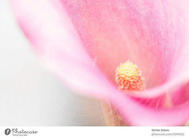 Calla, Kalla oder Calla-Lilien Natur Sommer Pflanze Blume Erholung ruhig Winter Leben Herbst Frühling Blüte Garten rosa Design Zufriedenheit hell