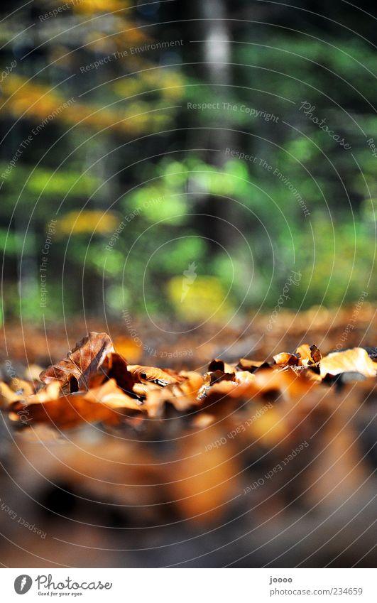 Herbstlaub Natur Pflanze Erde Baum Gras Blatt Wald braun Farbfoto Gedeckte Farben Außenaufnahme Detailaufnahme Experiment Textfreiraum oben