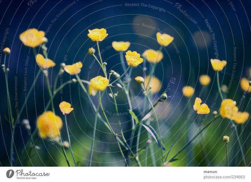 Blumenfoto Natur Blume gelb Frühling mehrere Frühlingsgefühle Wildpflanze Wiesenblume Hahnenfußgewächse Hahnenfuß