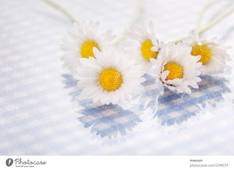 Gänseblümchenfoto Natur blau weiß schön Blume Frühling Blüte hell liegen mehrere Gänseblümchen Frühlingsgefühle
