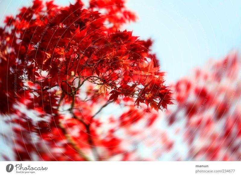 Ahornfoto Natur Frühling Baum Blatt Zweige u. Äste Ahornzweig natürlich schön blau rot Frühlingsgefühle Farbfoto Außenaufnahme Menschenleer Textfreiraum rechts