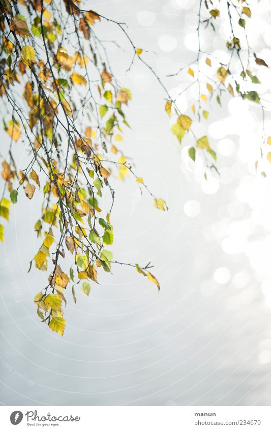 Birkenfoto Natur Sommer Herbst Baum Blatt Zweige u. Äste Birkenblätter herbstlich Herbstbeginn Herbstfärbung natürlich schön ruhig Farbfoto Außenaufnahme