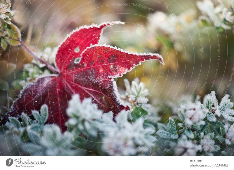 Frostfoto Natur grün rot Pflanze Winter Blatt kalt Herbst Eis natürlich authentisch Frost Sträucher gefroren Herbstlaub herbstlich