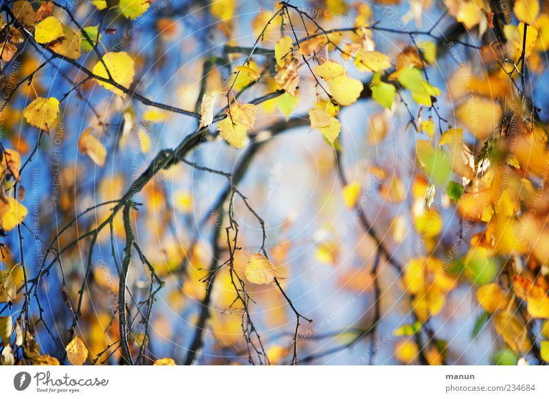 Blätterfoto Natur Herbst Baum Blatt Birke Birkenblätter Zweige u. Äste Herbstlaub herbstlich Herbstfärbung Herbstbeginn blau gelb gold Jahreszeiten Farbfoto