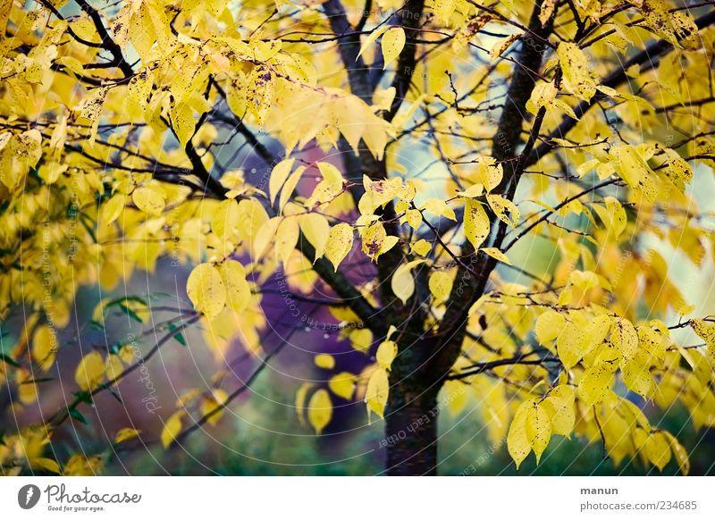 Herbstbaumfoto Natur Baum Blatt Herbstlaub Herbstfärbung Herbstbeginn herbstlich authentisch schön Farbfoto Außenaufnahme Menschenleer Tag Kontrast