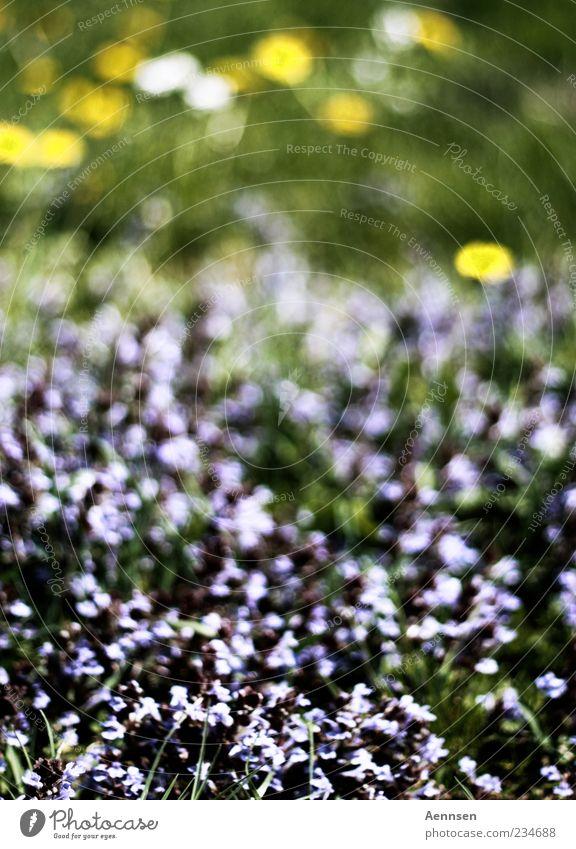 Blumen so weit das Auge reicht Pflanze Sonnenlicht Sommer Schönes Wetter Gras Blüte Blühend Duft gelb violett Stimmung Frühlingsgefühle ruhig Gefühle Farbfoto