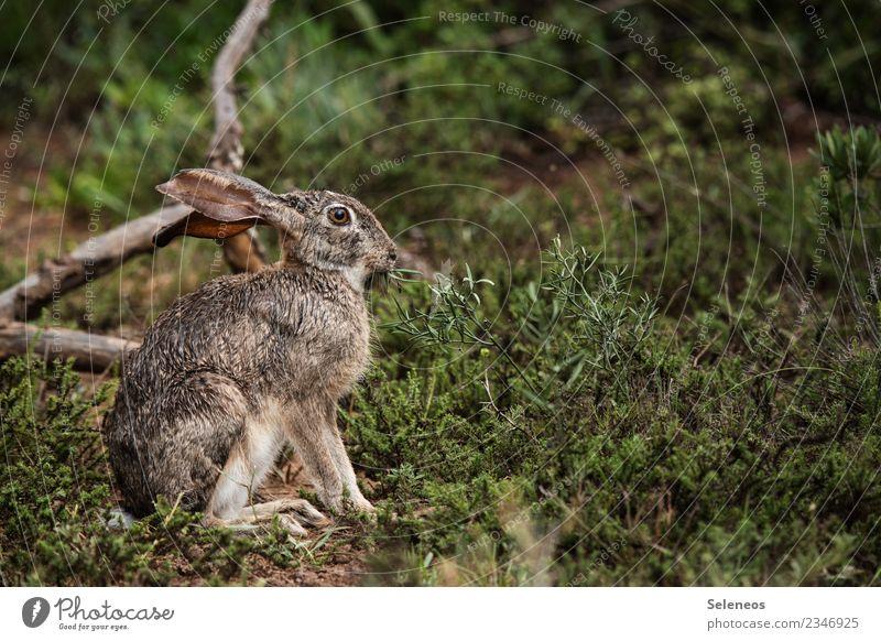 Freiheit Ausflug Abenteuer Expedition Umwelt Natur Regen Gras Sträucher Garten Park Tier Wildtier Tiergesicht Hase & Kaninchen Hasenohren nass natürlich