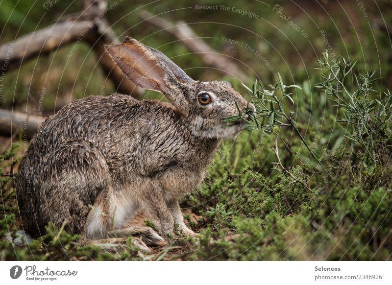Osterhasi im Regen Ausflug Freiheit Safari Umwelt Gras Sträucher Wiese Feld Tier Wildtier Tiergesicht Hase & Kaninchen Hasenohren 1 nah nass natürlich Farbfoto