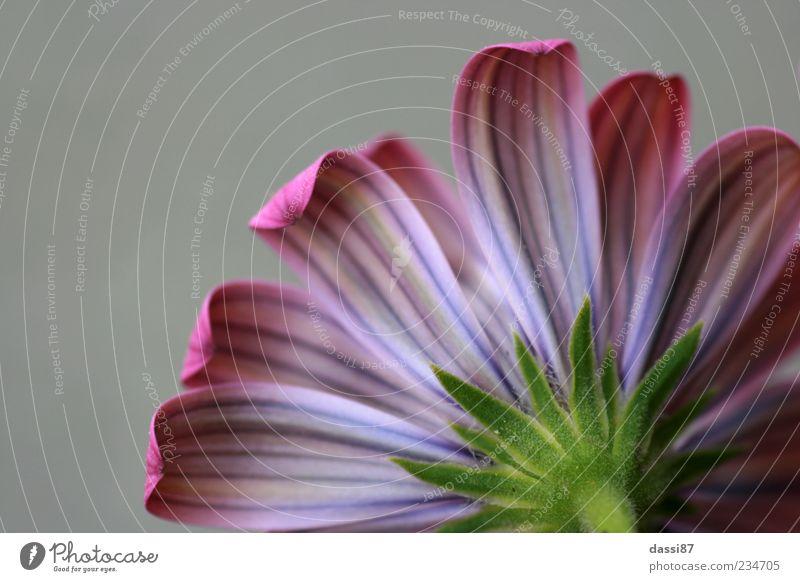 Abgewandt Natur schön Pflanze Sommer Blume kalt Frühling Blüte Traurigkeit träumen rosa elegant außergewöhnlich authentisch leuchten trist