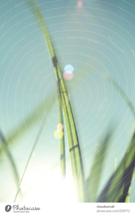 Gute-Laune-Gras Natur Pflanze Himmel Wolkenloser Himmel Frühling Sommer Schönes Wetter Halm Wiese schön grün Fröhlichkeit Blendenfleck Blendeneffekt blenden