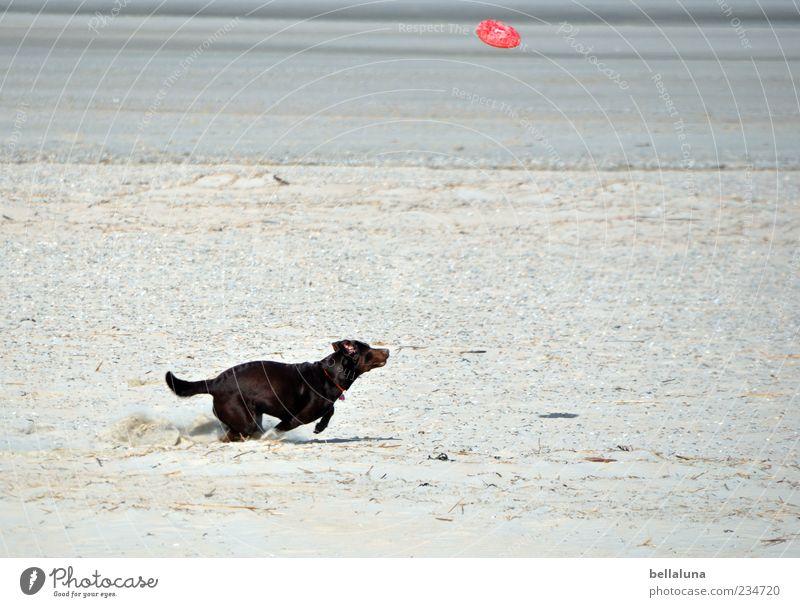 Spiekeroog   Extremsport :-D Hund Meer Strand Spielen Bewegung rennen Geschwindigkeit Haustier Spiekeroog Sandstrand auslaufen Freizeit & Hobby Tier Frisbee apportieren