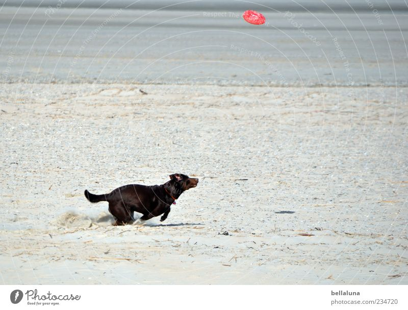 Spiekeroog | Extremsport :-D Hund Meer Strand Spielen Bewegung rennen Geschwindigkeit Haustier Sandstrand auslaufen Freizeit & Hobby Tier Frisbee apportieren