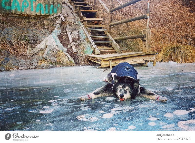 Kappi on ice Hund 1 Tier blau Missgeschick ausrutschen lustig Winter Rutschgefahr Farbfoto Außenaufnahme Menschenleer Tag Starke Tiefenschärfe Tierporträt