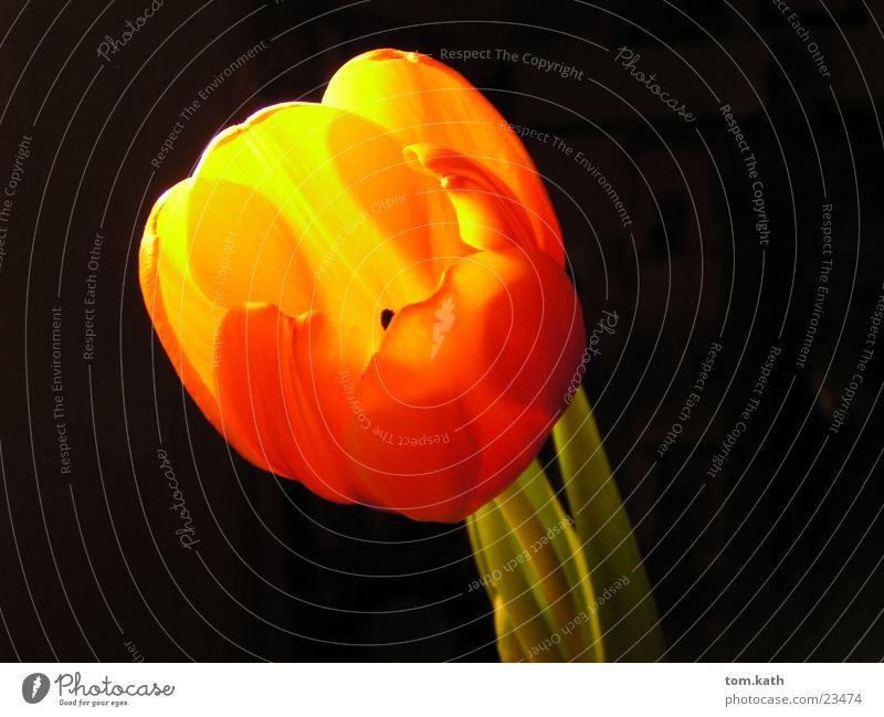 blume Blume Pflanze Lampe Blüte orange Blühend Tulpe