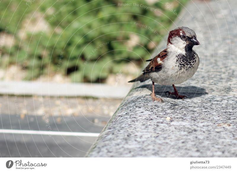 Herr Spatz Sonne Frühling Sommer Schönes Wetter Tier Wildtier Vogel Sperlingsvögel Singvögel Haussperling 1 beobachten frech Neugier positiv Klima Natur Umwelt