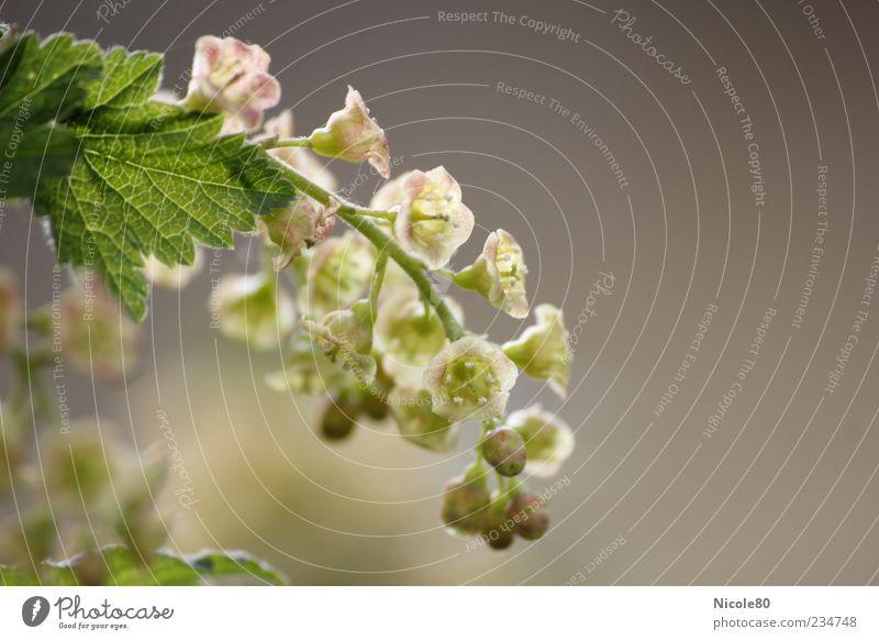 zukünftige Johannisbeeren 2 Natur grün Pflanze Blatt grau Garten Blüte rosa Sträucher zart Nutzpflanze Makroaufnahme durchleuchtet Blütenstauden Traubenblüte
