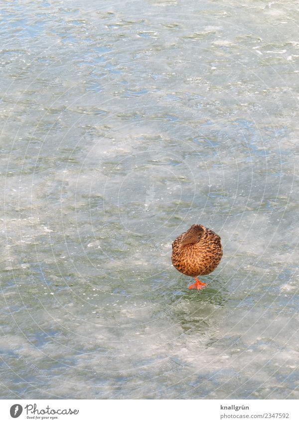 Tiefschlaf Winter Eis Frost Teich Tier Wildtier Ente Stockente 1 Kommunizieren schlafen stehen braun orange weiß Natur einbeinig gefroren Eisfläche Farbfoto