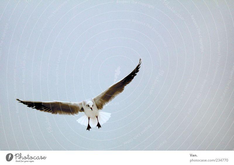 Flugungeheuer Himmel Natur Tier Freiheit grau Luft Vogel fliegen Wildtier Flügel Neugier Möwe Schweben Vogelflug