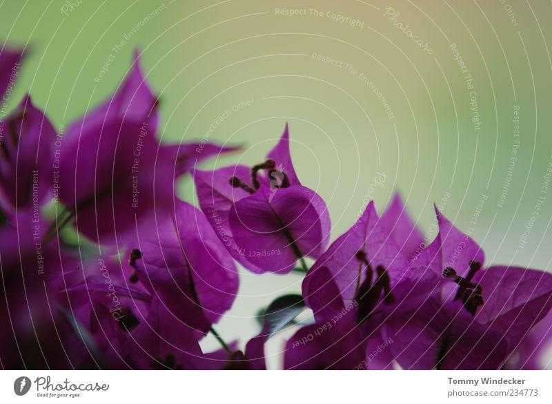 Für Mutter Pflanze Frühling Sommer Blume Blüte Wachstum Duft exotisch frisch schön violett Frühlingsgefühle elegant Gefühle Farbfoto Textfreiraum oben Dämmerung
