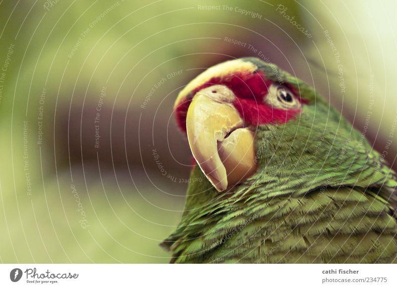 papagei Tier Wildtier Vogel Tiergesicht Zoo Papageienvogel 1 grün rot Schnabel Auge Feder Nahaufnahme Wildvogel exotisch Froschperspektive Grünstich Farbstoff
