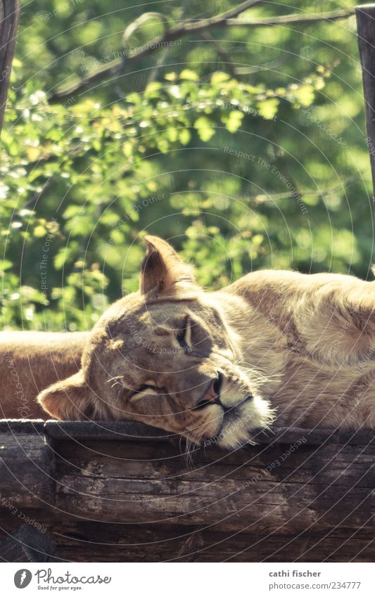 schlafender löwe Natur Sommer Schönes Wetter Baum Tier Wildtier Katze Tiergesicht Fell Zoo Löwe Löwin Wildkatze 1 liegen träumen exotisch braun grün Trägheit