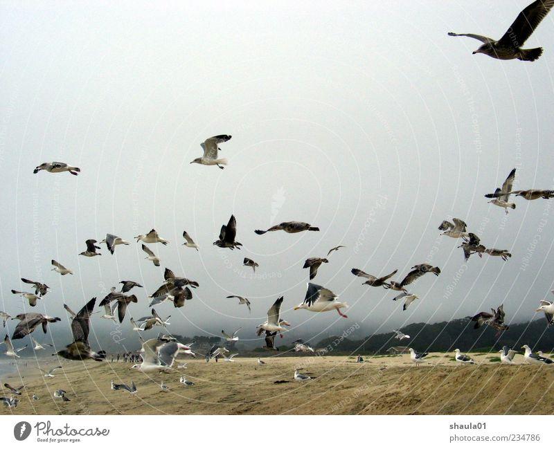 Sea Gulls Himmel Strand Tier Bewegung grau Vogel elegant fliegen Tiergruppe Flügel viele Zusammenhalt Möwe Schwarm Vogelflug