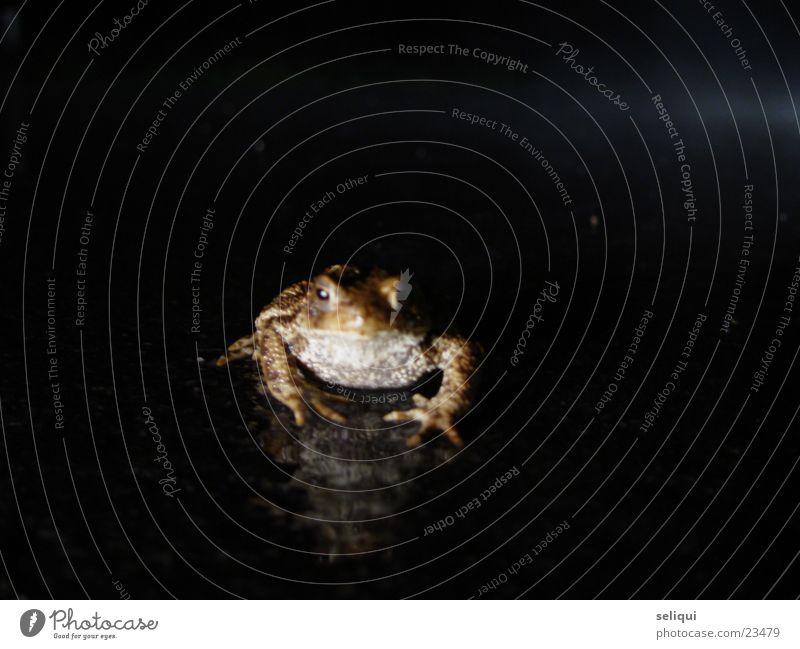 kröte Krötenwanderung Nacht Landstraße Tier Straße toad
