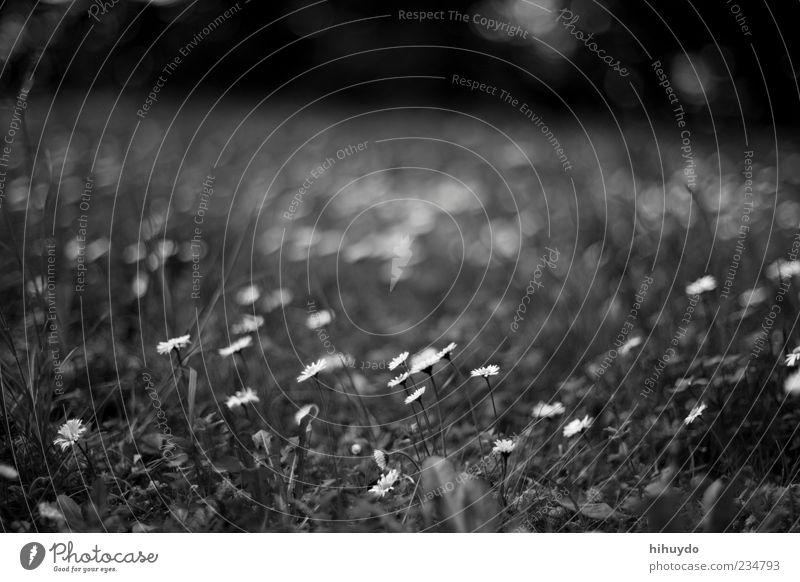 nicht schon wieder ein gänseblümchen-foto Umwelt Natur Frühling Blume Gras Blüte frei frisch hell schön Frühlingsgefühle Schwarzweißfoto Außenaufnahme