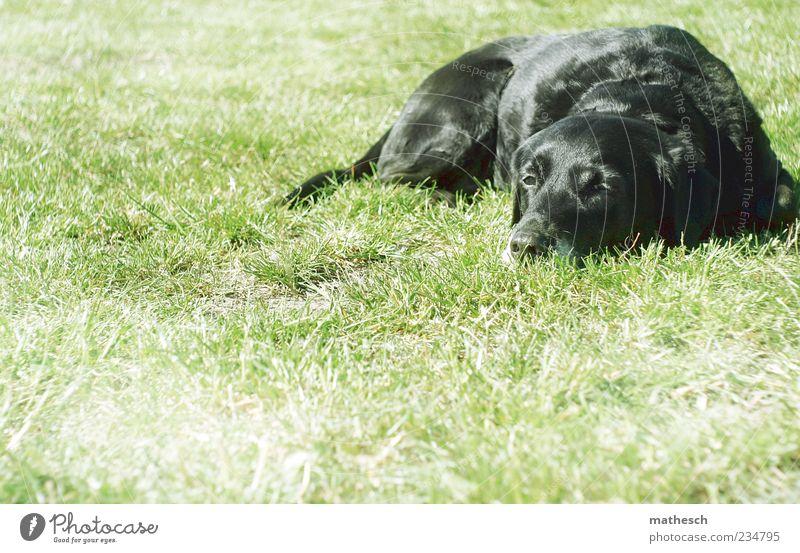 mittagspause. Natur Gras Tier Haustier Hund Fell 1 liegen grün schwarz Trägheit bequem Labrador Farbfoto Außenaufnahme Textfreiraum links Textfreiraum unten Tag