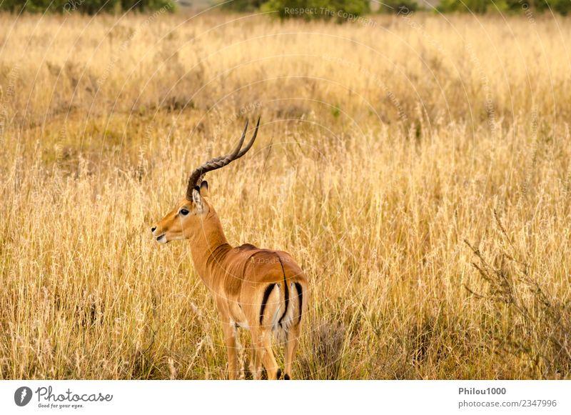 Impala in der Savannenlandschaft Menschengruppe Umwelt Tier Flamingo weiß Afrika Nairobi Afrikanisch Hintergrund groß Eber zervikal Vielfalt Elenantilope Fauna