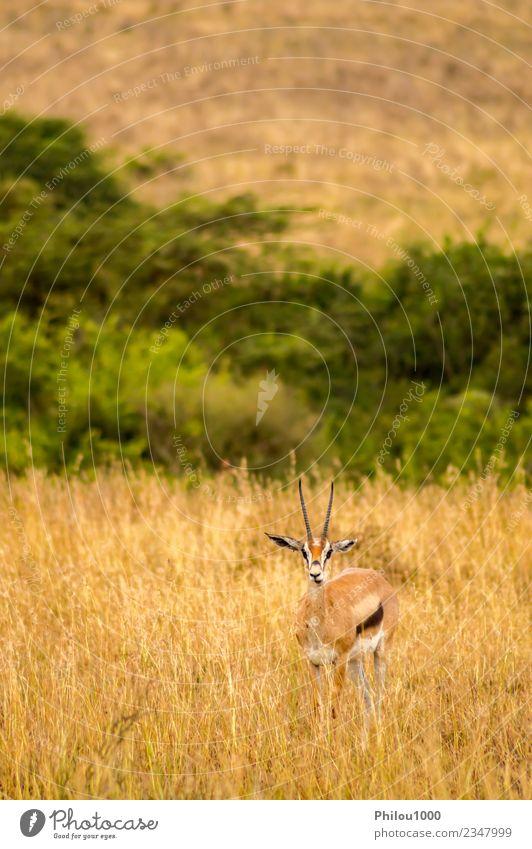 Thomson Gazellen auf der Weide Abenteuer Safari Mann Erwachsene Natur Landschaft Tier Gras Park wild weiß Afrika Kenia Nairobi Akazie Afrikanisch Antilopen