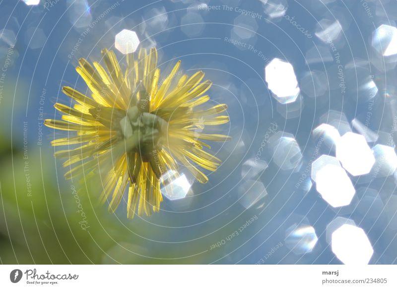 Verträumtes Blümchen 2 Himmel Natur Pflanze blau grün Farbe Sommer Blume gelb Blüte Frühling Wiese außergewöhnlich glänzend träumen leuchten