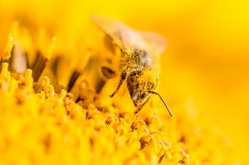 Makro Honig Biene sammelt gelbe Pollen auf Sonnenblume in Natur Pflanze Sommer schön Blume Tier ruhig Freude Wärme Leben Gesundheit Umwelt Blüte Frühling