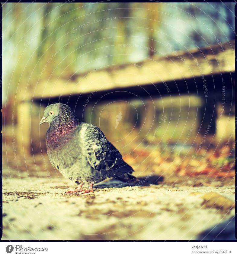 Taube Natur Tier Erde Park Wildtier 1 Mittelformat analog Farbfoto Außenaufnahme Tag Sonnenlicht Textfreiraum oben Textfreiraum rechts Vogel sitzen gefiedert