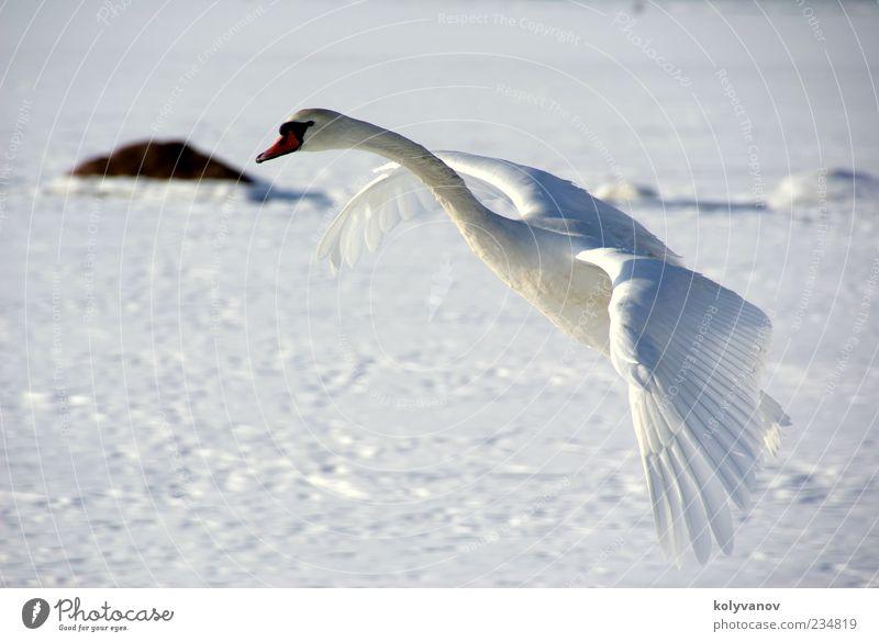 Schwan im Flug elegant schön Natur Tier Wildtier Vogel 1 beobachten Bewegung fliegen natürlich niedlich weiß Treue einzigartig ruhig Selbstständigkeit Umwelt